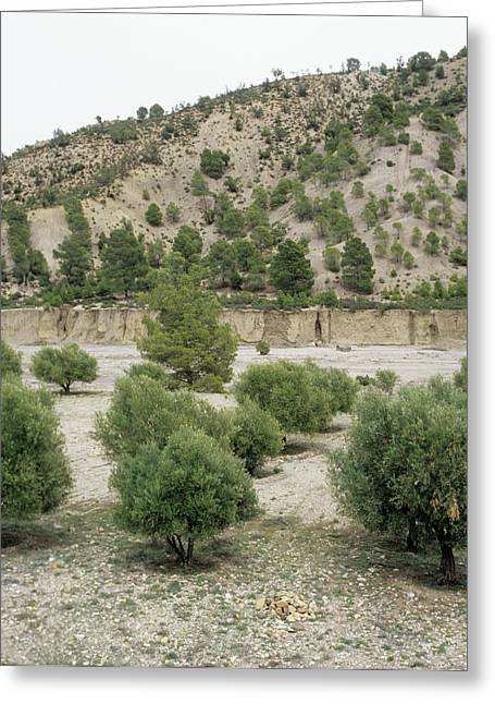 Olive Trees Greeting Card by Mark De Fraeye/science Photo Library