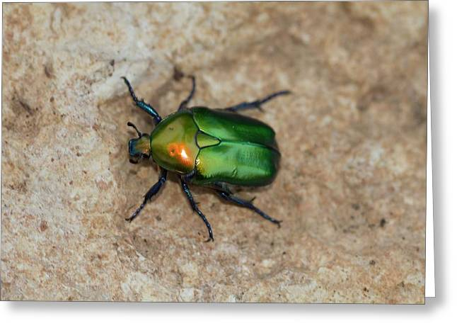 Olivegreen Flower Chafer Greeting Card by Photostock-israel