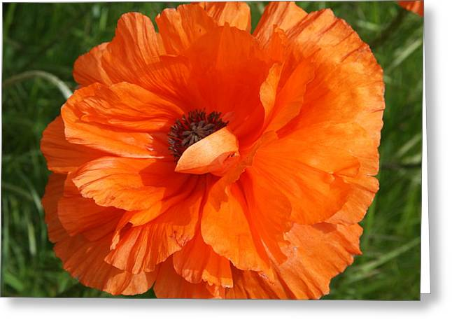 Olympia Orange Poppy Greeting Card by Christiane Schulze Art And Photography