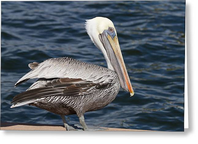 On The Edge - Brown Pelican Greeting Card by Kim Hojnacki