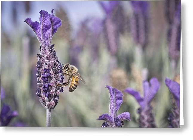 On The Lavender  Greeting Card