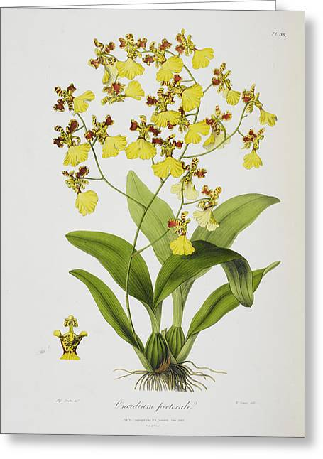 Oncidium Pectorale Greeting Card by British Library