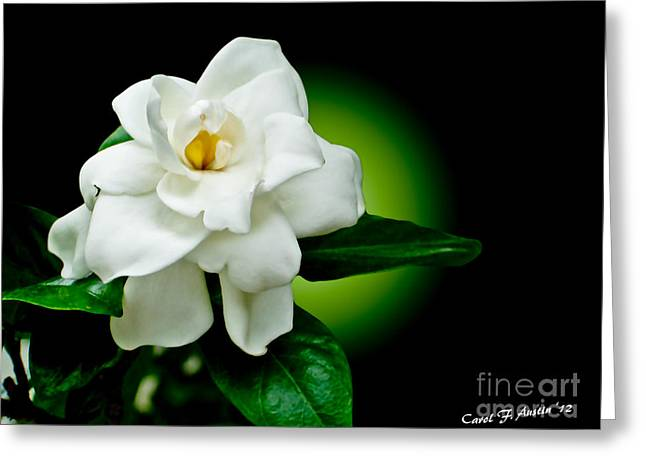 One Sensual White Flower Greeting Card by Carol F Austin