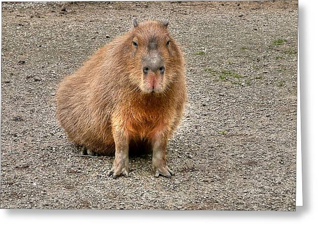 One Very Big Indifferent Rodent-the Capybara Greeting Card by Eti Reid