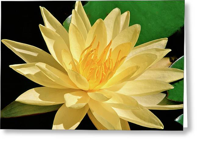 One Water Lily  Greeting Card by Ed  Riche
