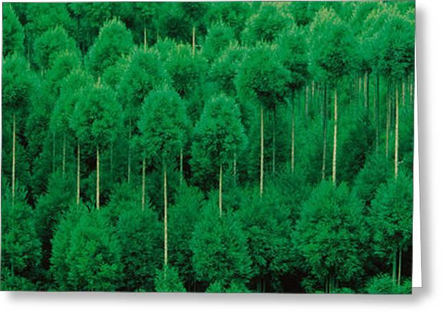 Onogo Kitayama Cedar Trees Kyoto Japan Greeting Card by Panoramic Images
