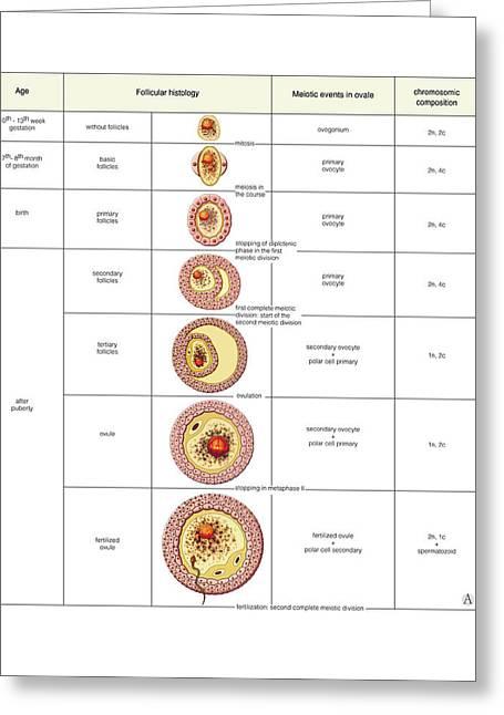 Oogenesis Greeting Card by Asklepios Medical Atlas