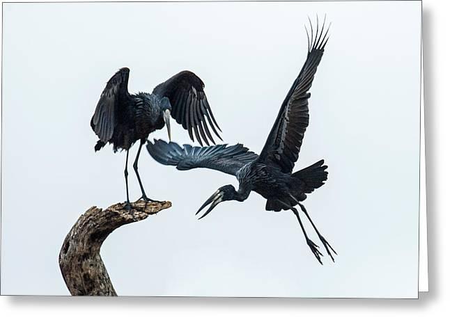 Openbill Storks Flying, Tarangire Greeting Card