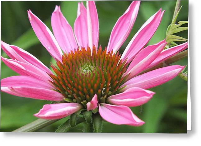 Opening Coneflower Greeting Card