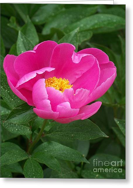Greeting Card featuring the photograph Peony  by Eunice Miller