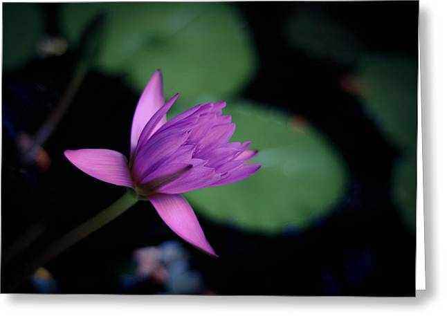 Opening Water Lily Greeting Card