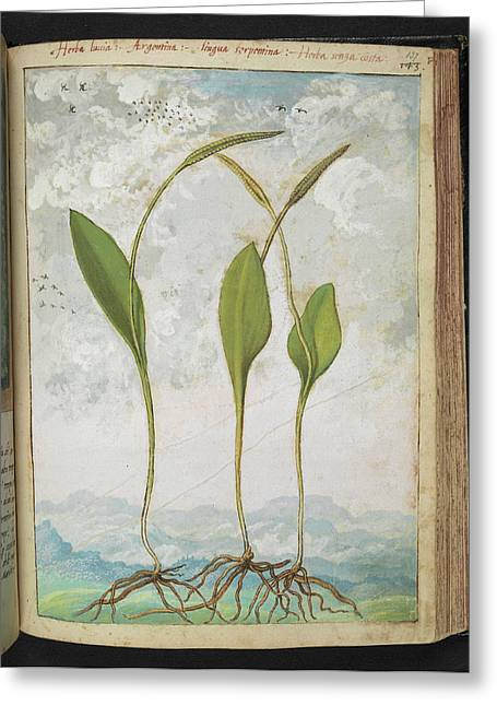 Ophioglossum Vulgatum Greeting Card by British Library