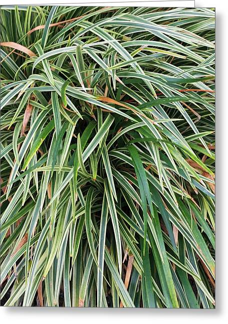 Ophiopogon Jaburan 'variegata' Greeting Card
