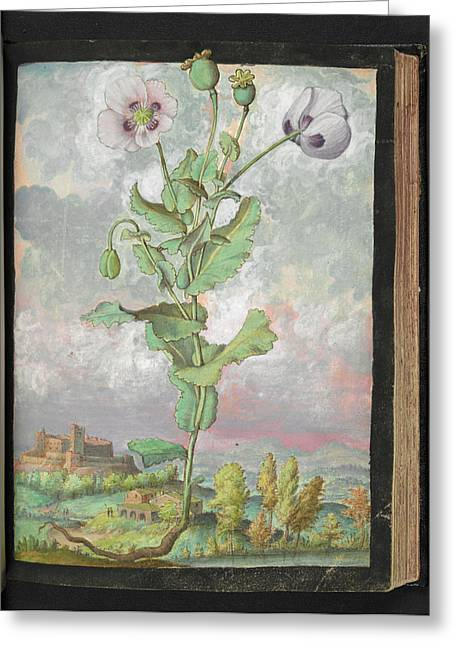 Opium Poppy (papaver Somniferum) Greeting Card by British Library