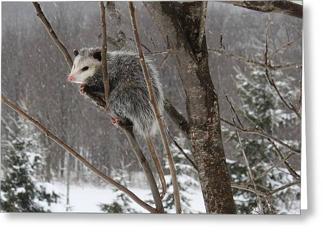 Opossum In A Tree Greeting Card
