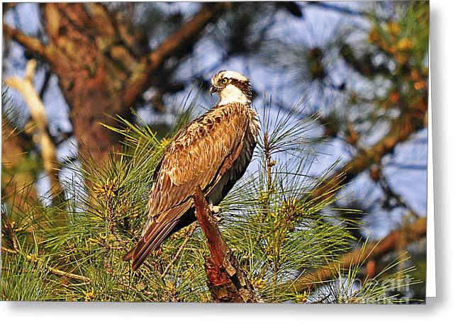 Opulent Osprey Greeting Card by Al Powell Photography USA