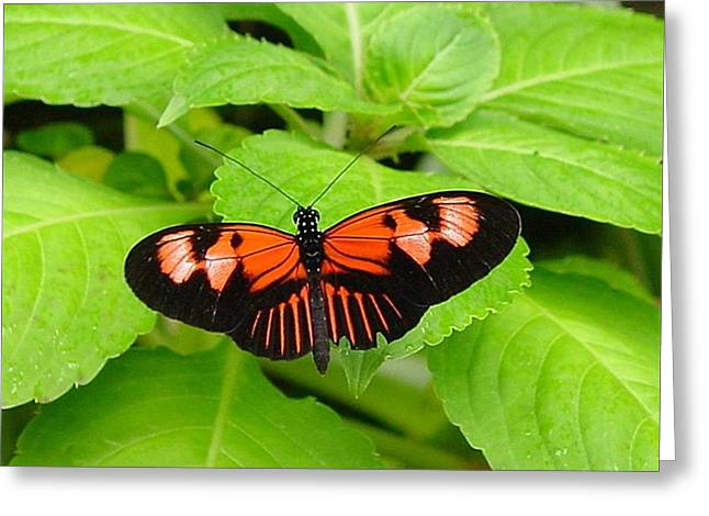 Orange And Black Butterfly Greeting Card by Hollye Knox