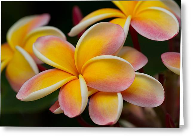Orange And Pink Plumeria Greeting Card by Roger Mullenhour