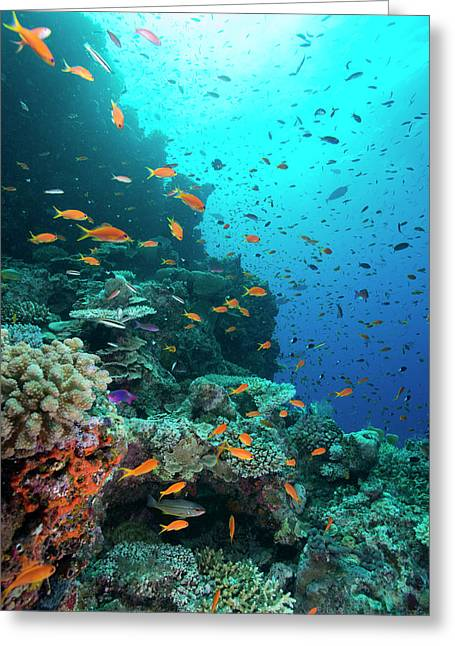 Orange And Purple Anthias On A Reef Greeting Card