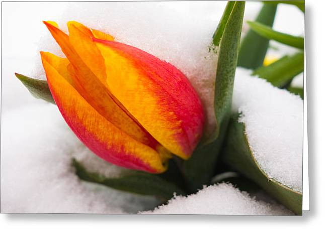 Orange And Red Tulip In The Snow Greeting Card by Matthias Hauser