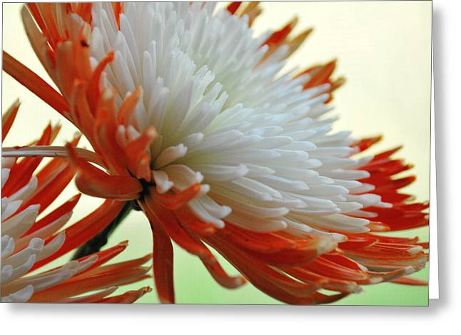 Orange And White Flower Greeting Card by Linda Segerson