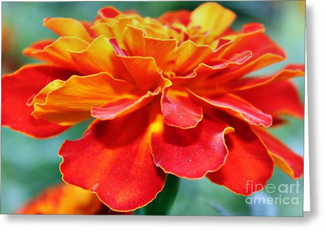 Orange And Yellow Marigold Greeting Card by Judy Palkimas