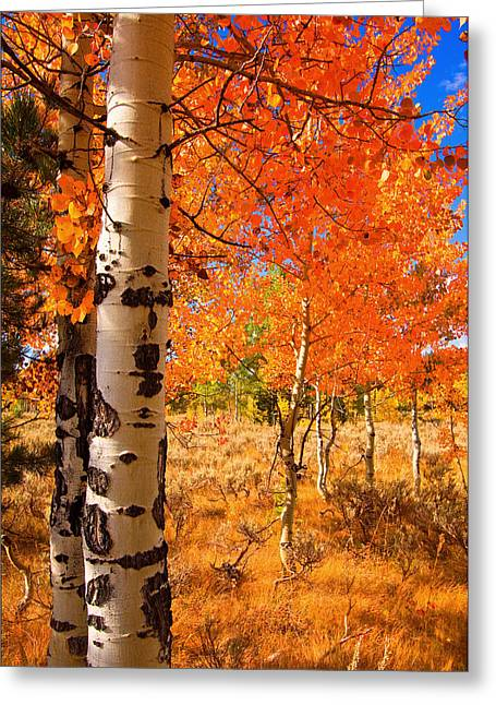 Greeting Card featuring the photograph Orange Aspens by Aaron Whittemore