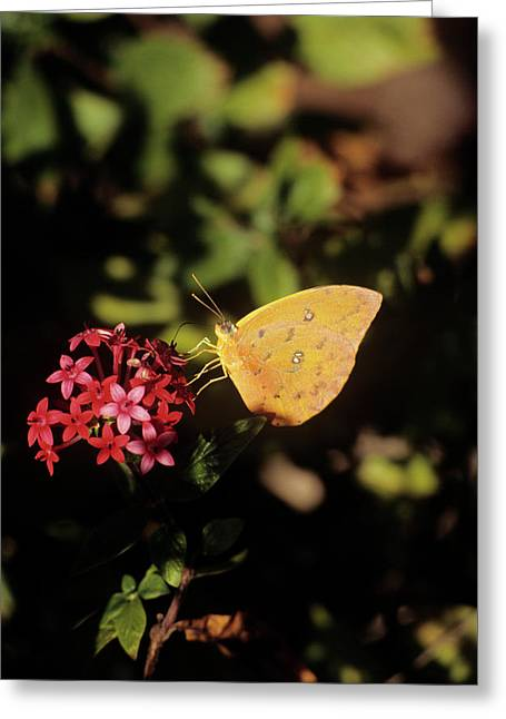 Orange-barred Giant Sulphur Butterfly Greeting Card
