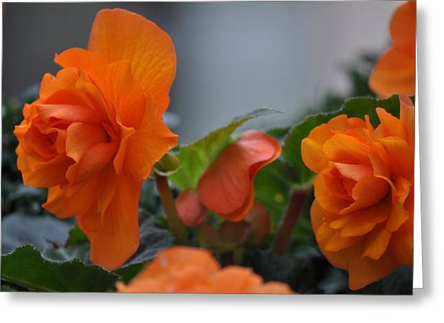 Orange Beauties Greeting Card