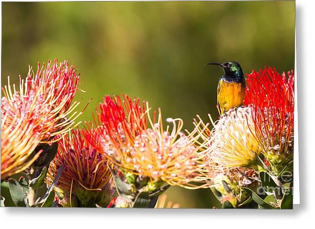 Orange-breasted Sunbird Greeting Card by Jean-Luc Baron