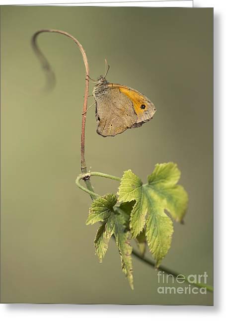 Orange Butterfly On A Green Wine Branch Greeting Card by Jaroslaw Blaminsky