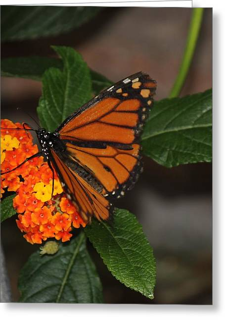 Greeting Card featuring the photograph Orange Butterfly On Flowers by Bill Woodstock