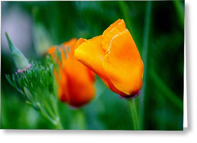 Orange California Poppies Greeting Card