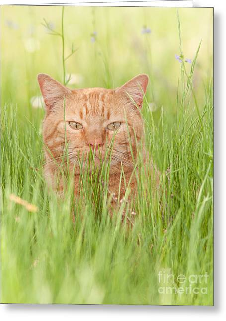 Orange Cat In Green Grass Greeting Card