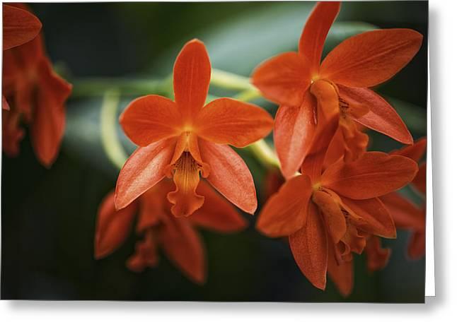Orange Cattleya Orchid Greeting Card by David Waldo