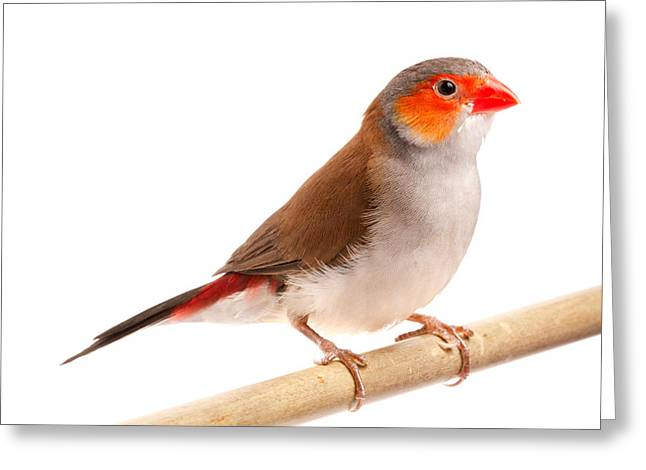 Greeting Card featuring the photograph Orange-cheeked Waxbill Estrilda Melpoda by David Kenny