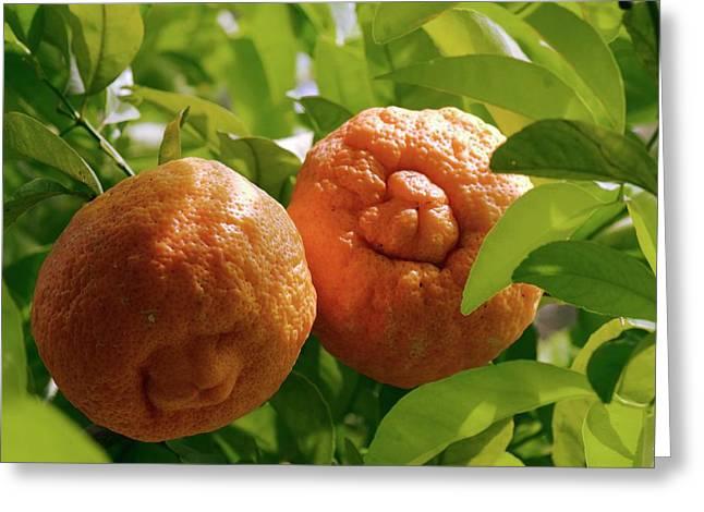 Orange (citrus Sinensis) Tree In Fruit Greeting Card by Adrian Thomas