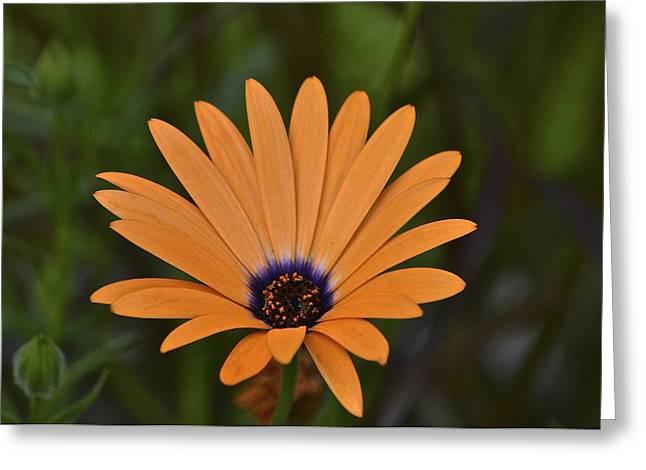Orange Cream Greeting Card by Marjorie Tietjen