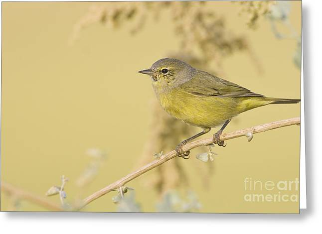Orange Crowned Warbler Greeting Card by Bryan Keil