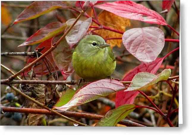 Greeting Card featuring the photograph Orange Crowned Warbler by Kimberly Mackowski