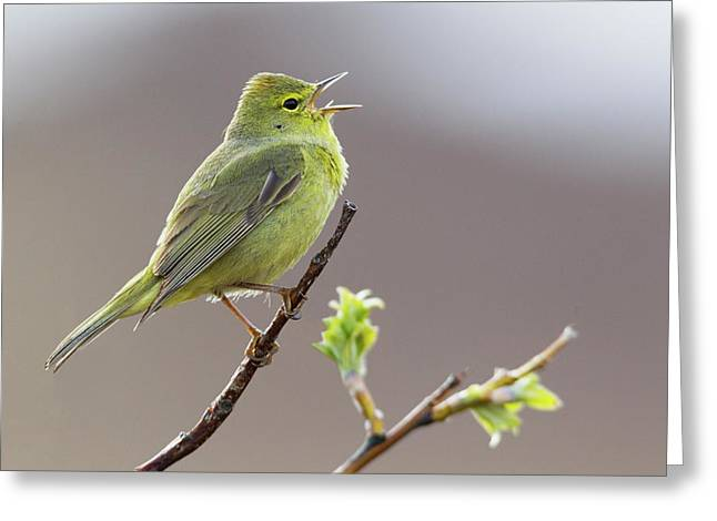 Orange-crowned Warbler Singing Greeting Card
