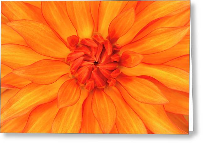 Orange Dahlia Flower Abstract Greeting Card by Nigel Downer