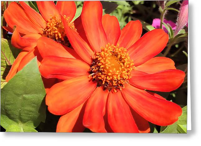 Orange Daisy In Summer Greeting Card by Luther Fine Art