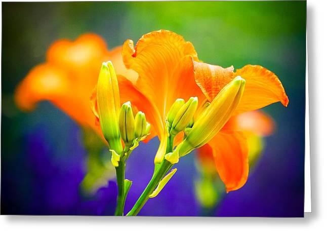 Orange Day Lillies Greeting Card by Virginia Folkman