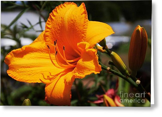 Orange Day Lily 1 Greeting Card by Marcus Dagan