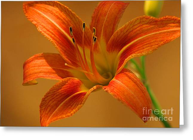 Greeting Card featuring the photograph Orange Daylily by Olivia Hardwicke