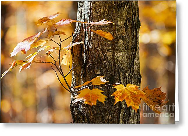 Orange Fall Maple Greeting Card by Elena Elisseeva