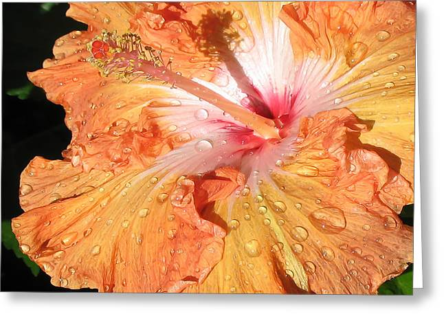 Orange Hibiscus After The Rain Greeting Card by Connie Fox