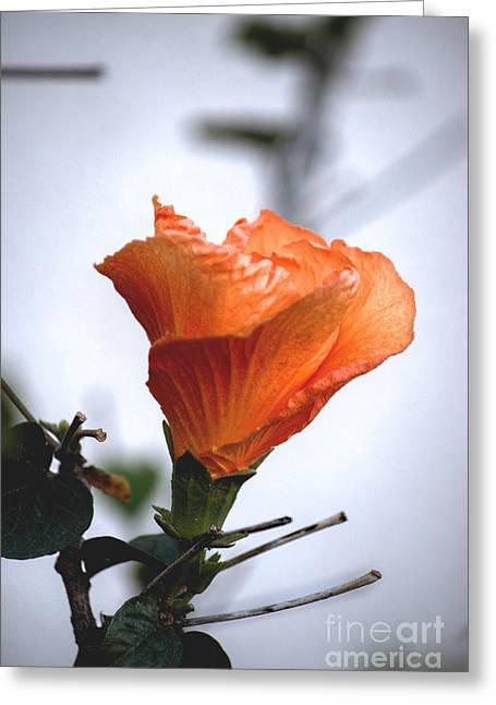 Traffic Control Greeting Cards - Orange Hibiscus LAX 2 Greeting Card by Deborah Smolinske