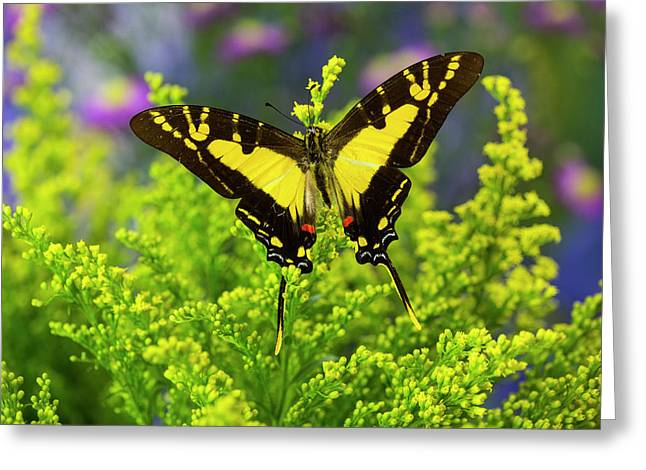 Orange Kite Swallowtail Butterfly Greeting Card